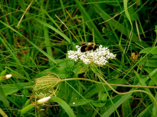 Bumble Bee on Queen Annes Lace